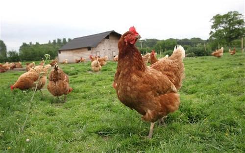 chicken_2700843b[1].jpg
