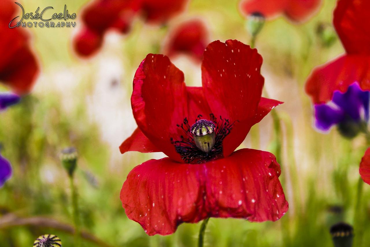 papoila poppy parque rinchoa fitares rio de mouro flores