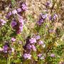 Satureja varia ssp. thymoides.jpg