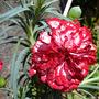 Dianthus_caryophyllus2.jpg