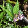 Solanum_mutricatum_flor.jpg