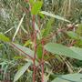 Eucalyptus_citriodora.jpg