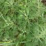 Artemisia_canforataFR.JPG
