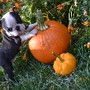 cute-boston-terrier-baby-first-halloween.jpg