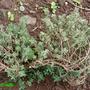 Thymus_cutriodora_variegata.jpg
