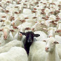 black-sheep_1719970i.jpg