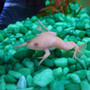My Albine Frog :)