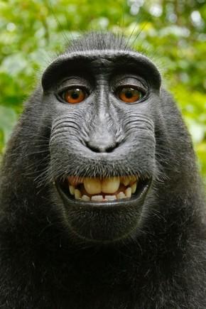 A qui profite le selfie (de macaque) ? _ le mouv_.