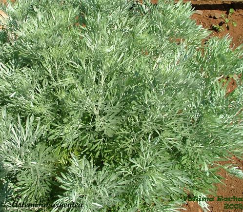 Artemisia_argenteaFR2.jpg