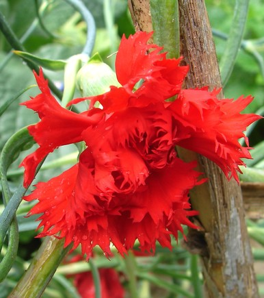 Dianthus_caryophyllus3.jpg