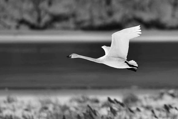 Whooper Swan in flight.jpg