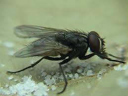 moscas.jpeg