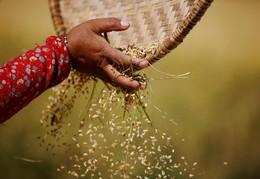 Seleção de bagos de arroz em Lalitpur, Nepal
