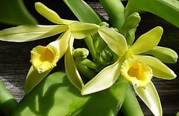 baunilha-vanilla-planifolia.jpg