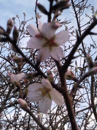 Foto1922.jpg flores amendoeira