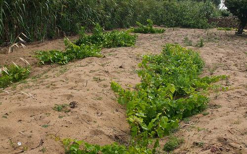 vinhas de areia de Colares